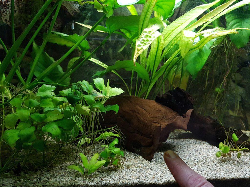 Az Öregről – egy akvarista naplójából (Ancistrus)l