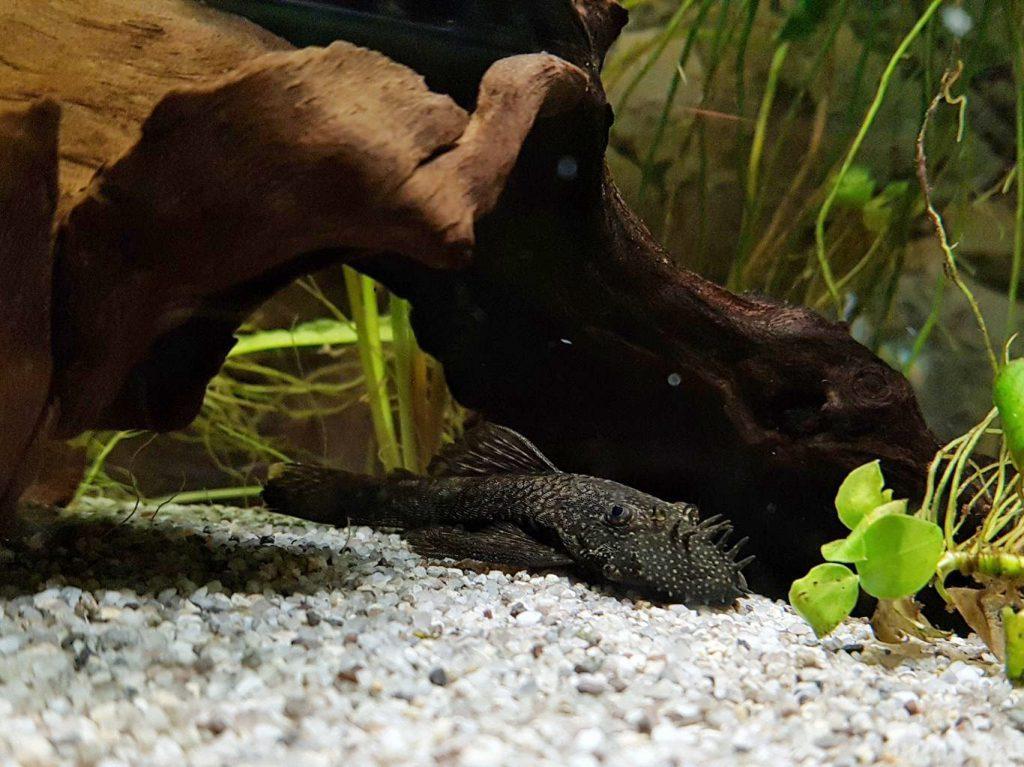 Az Öregről - egy akvarista naplójából - algaevő harcsak (Ancistrus)
