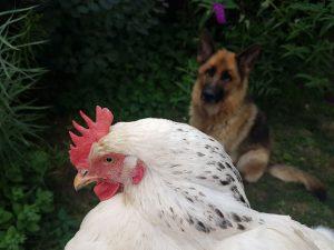 Egy csirke két combja - Tyúkom mondja